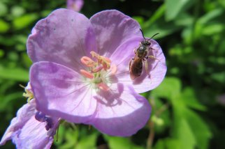 Sabine bee 1